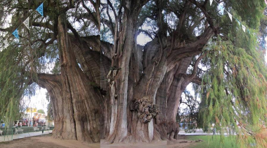 """4° giorno: """"Tule"""" l'albero piu' antico del mondo"""