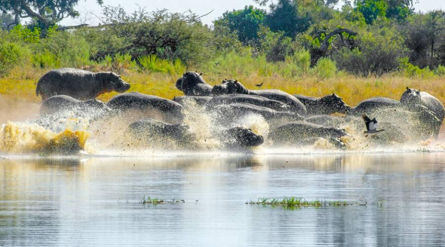 Ippopotami nella Moremi Game Reserve