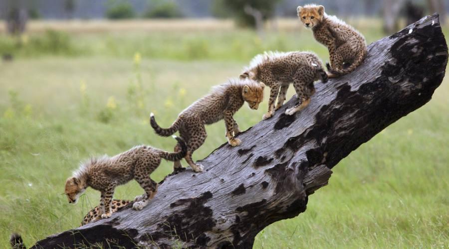 Piccoli ghepardi