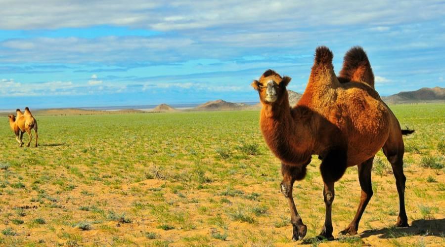 cammello bactriano