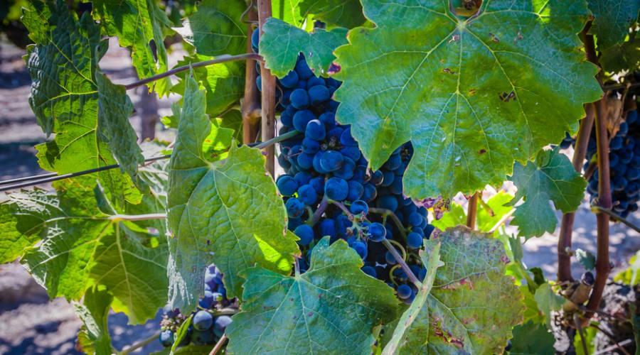 Uva, valle del Maipo
