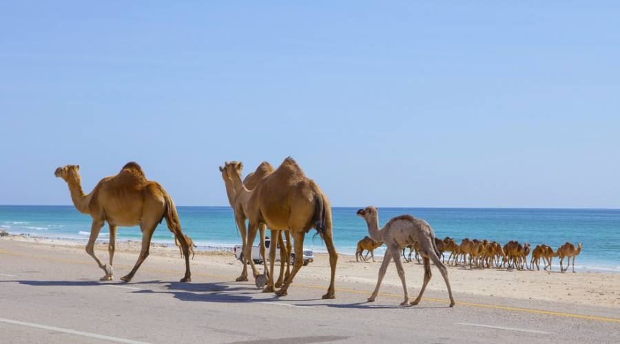 camelli