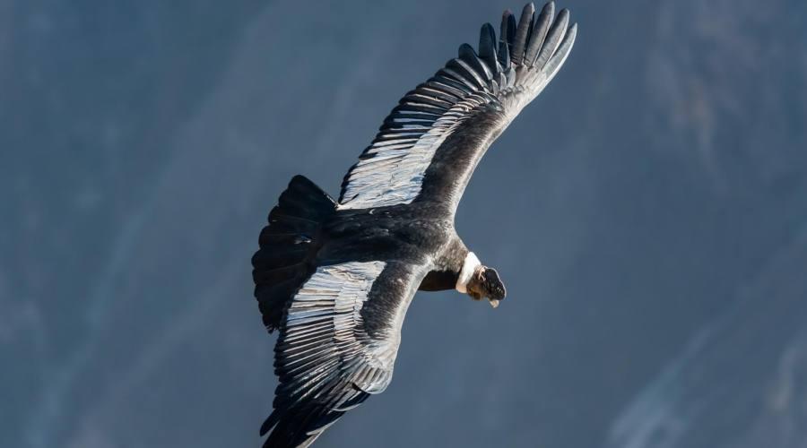 Condor  nel Canyon del Colca