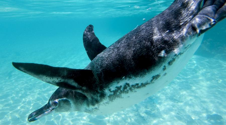 Pinguino alle Galapagos
