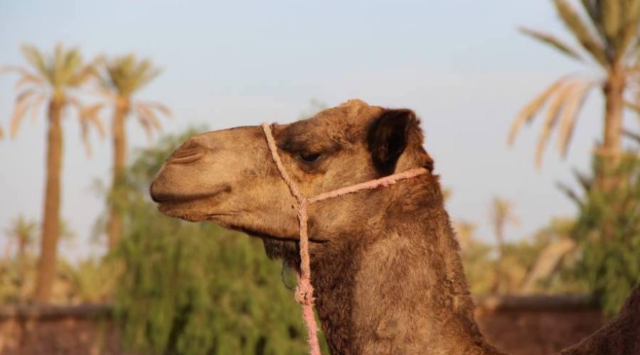 Dromadaire au Sahara
