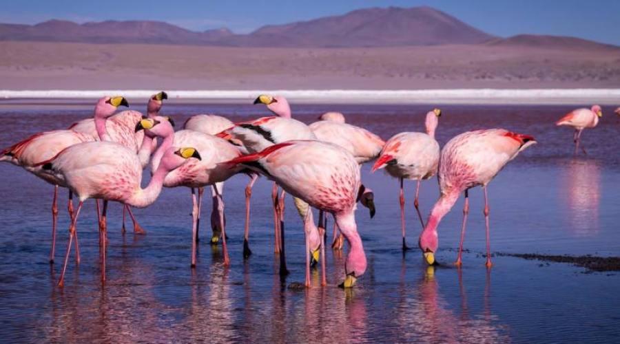 Fenicotteri in Bolivia