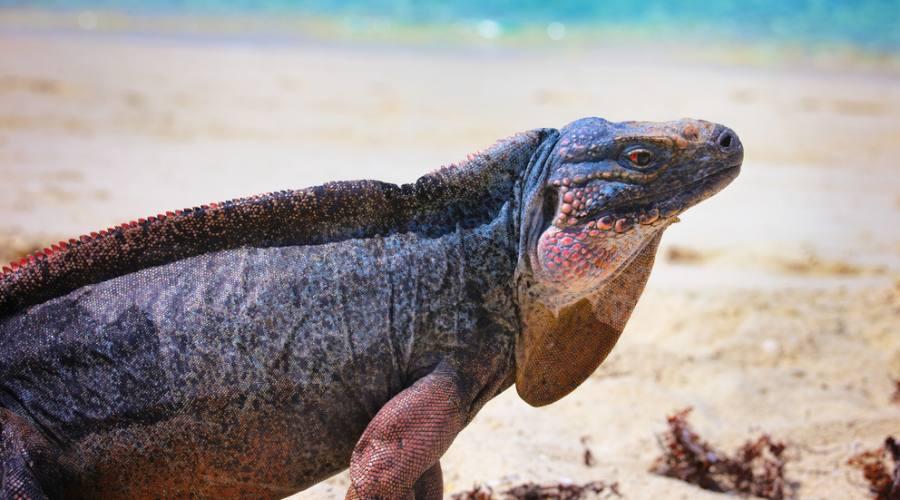 L'iguana delle Isole Exuma