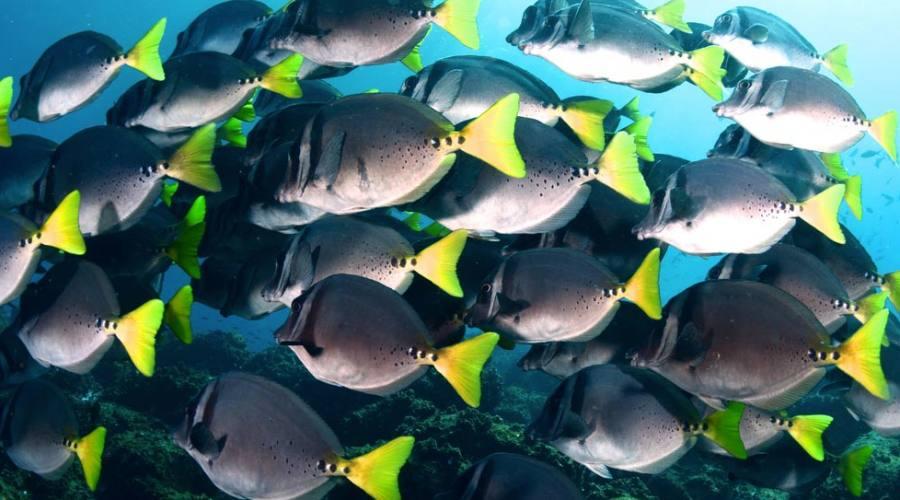 Un muro di pesci chirurgo