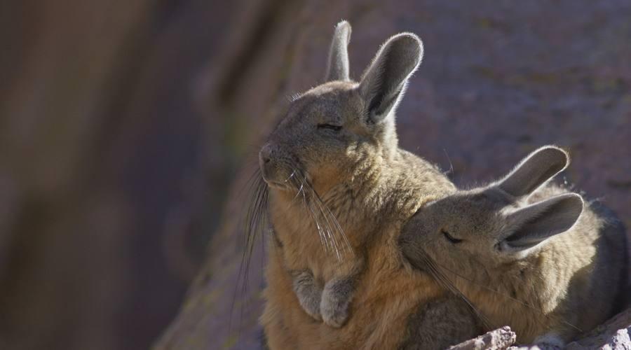 La viscaccia,  un grosso roditore visibile in Patagonia