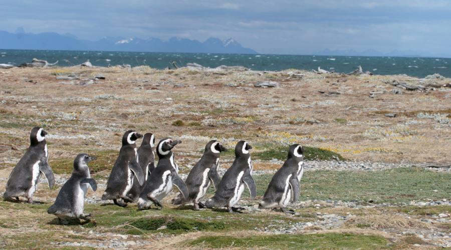 Pinguini di Magellano nei pressi di  Punta Arenas
