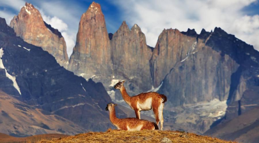 Guanaco con le Torri del Paine