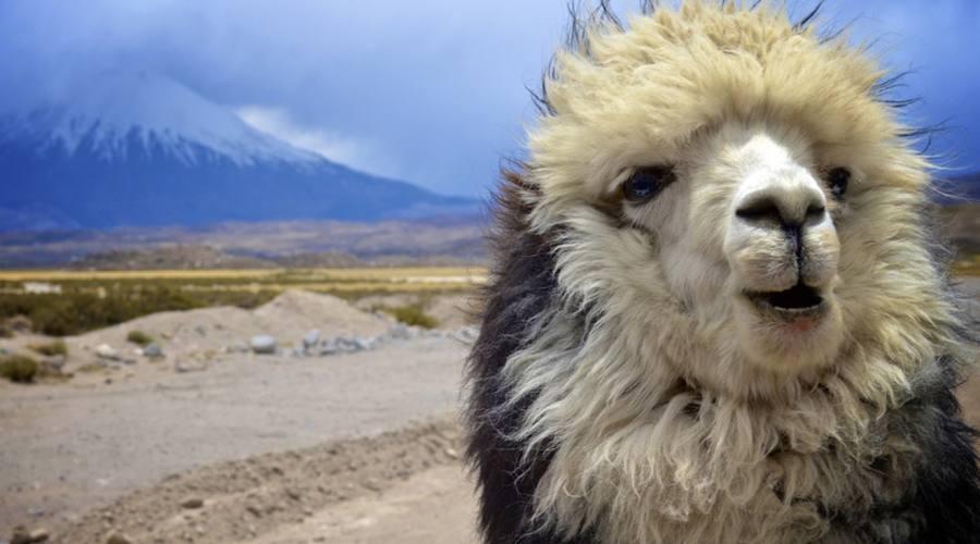 Lama a Parinacota
