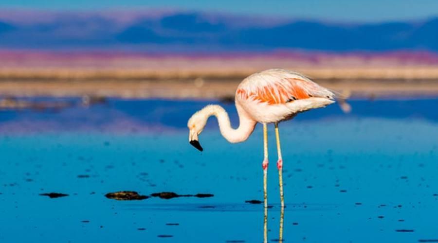 Fenicottero al Salar de Atacama