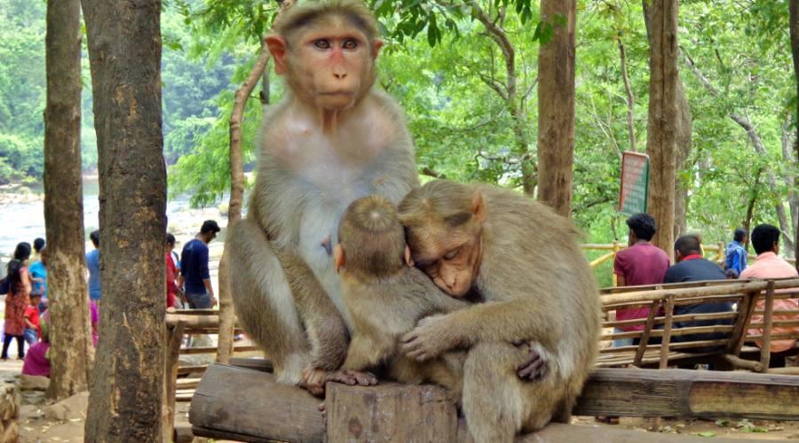 Famiglia di scimmie