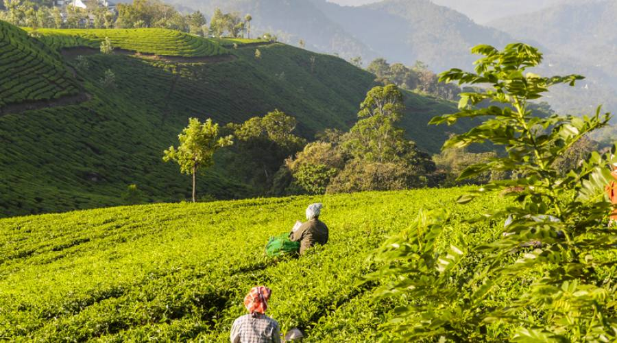 Piantagioni di tè in Munnar