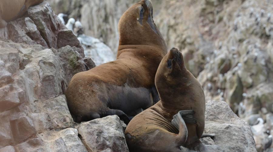 Leoni di mare alle isole Ballestas