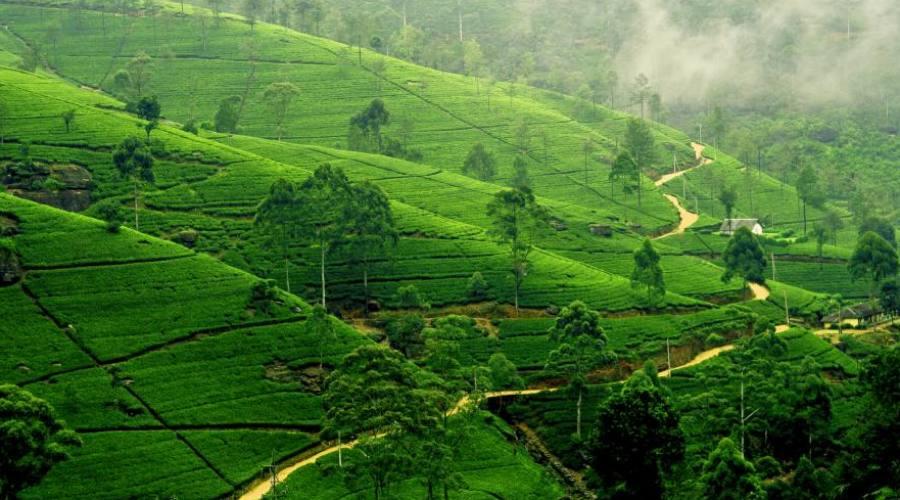 piantagioni di the