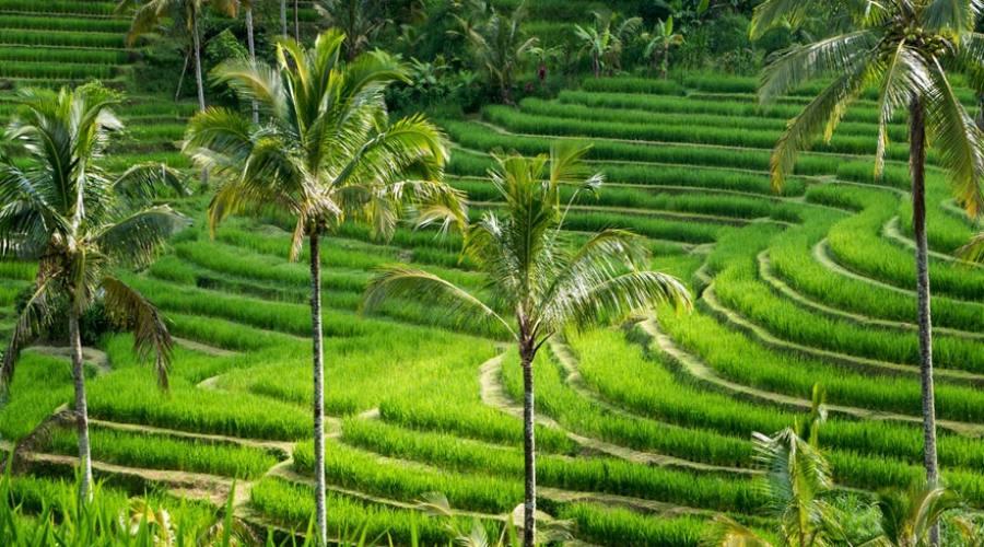 Campi di riso terrazzati a Bali
