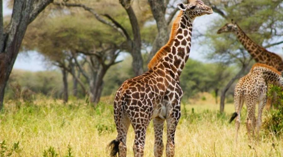 Maasai giraffes - Serengeti National Park