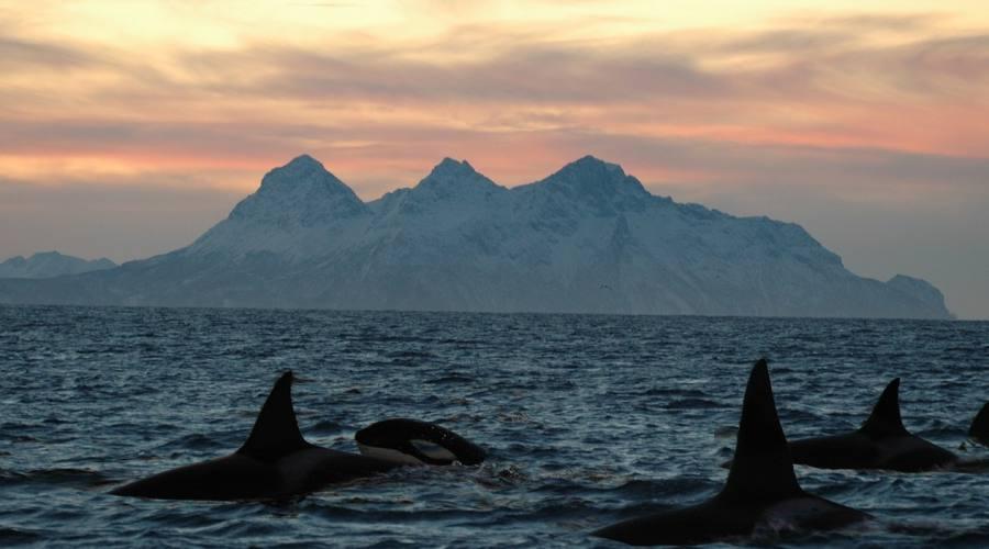 Orche alle Isole Lofoten