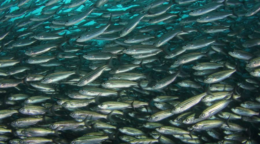 Banco di pesci