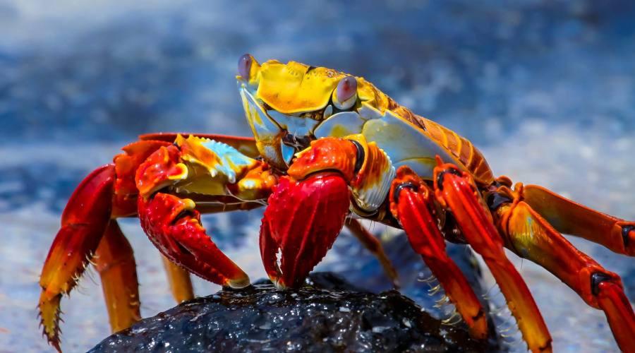 Un bel granchio colorato