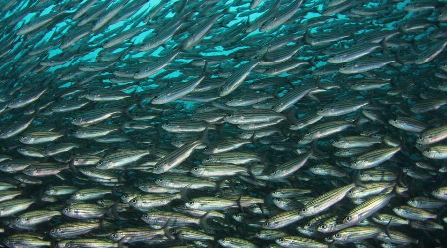 Enorme banco di pesci