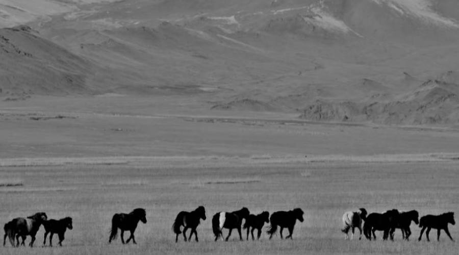 cavalli mongoli