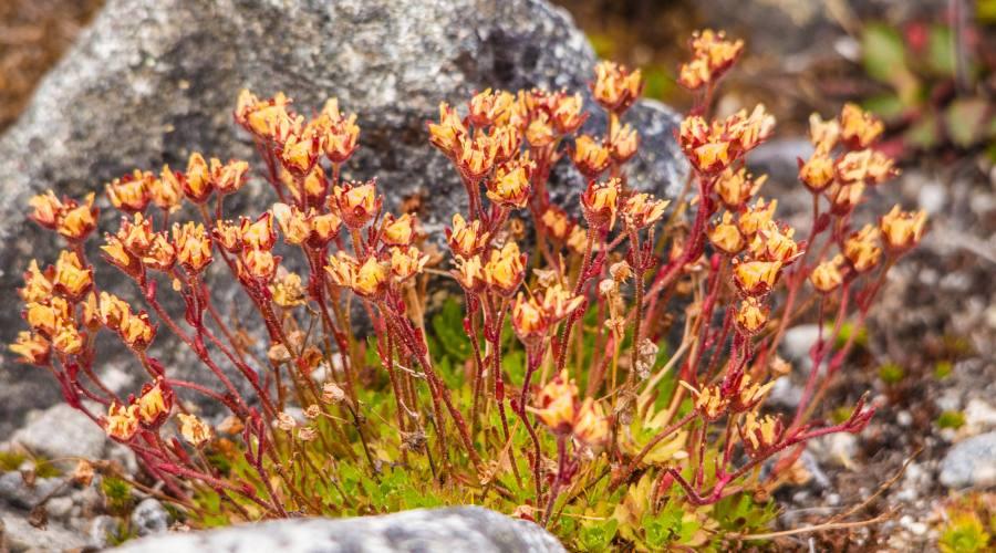 Flora artica