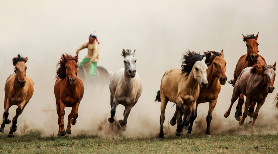 Cavalli selvatici di Przewalski