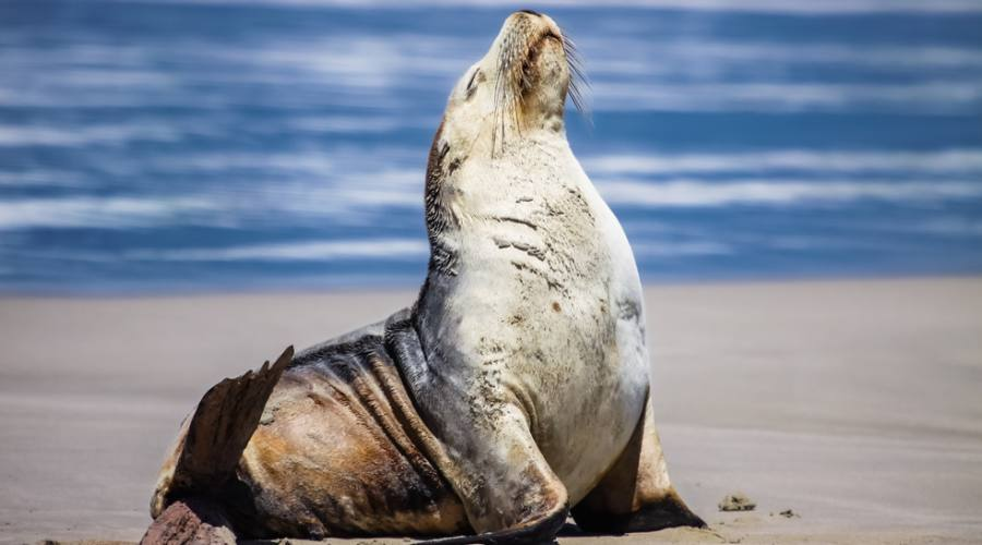 Leone Marino - Kangaroo Island Seal Bay