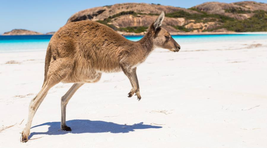 Canguro - Kangaroo Island