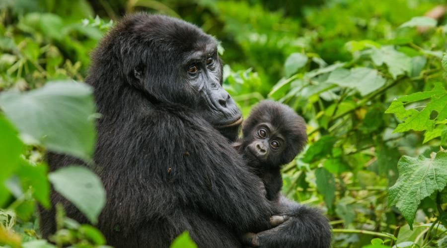 Gorilla femmina con cucciolo