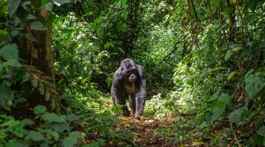 Trekking dei gorilla di montagna