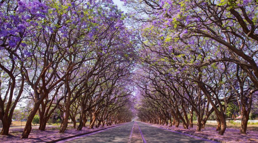 Viale con Jacaranda in fiore - Harare