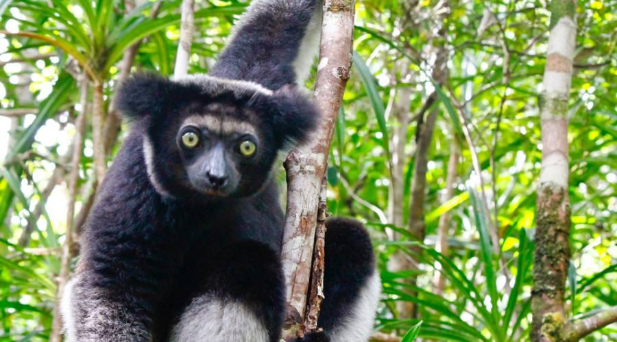 Andasibe National Park - Lemure Indri Indri