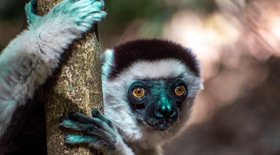 Lemure Sifaka di Verreaux