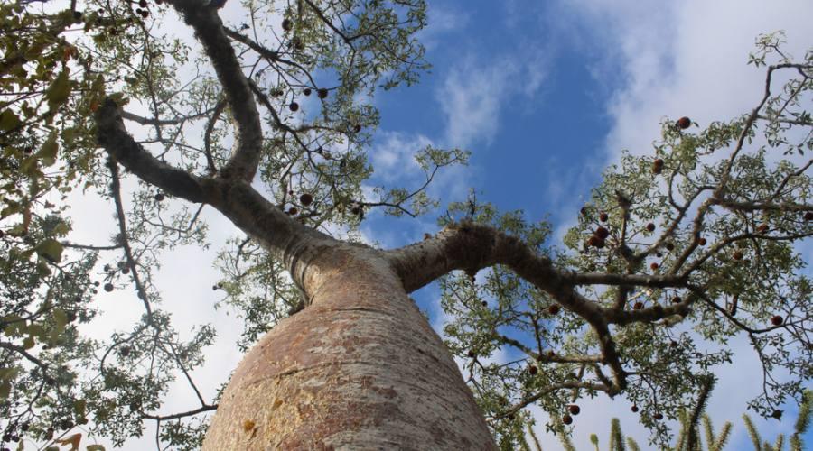 Ifaty - foresta di Baobab
