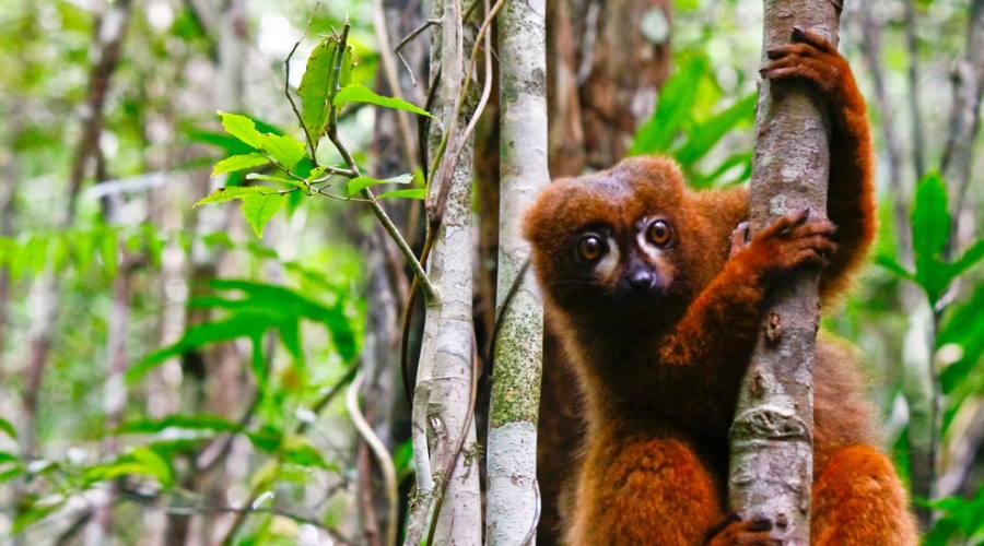 Ranomafana National Park - lemure rosso