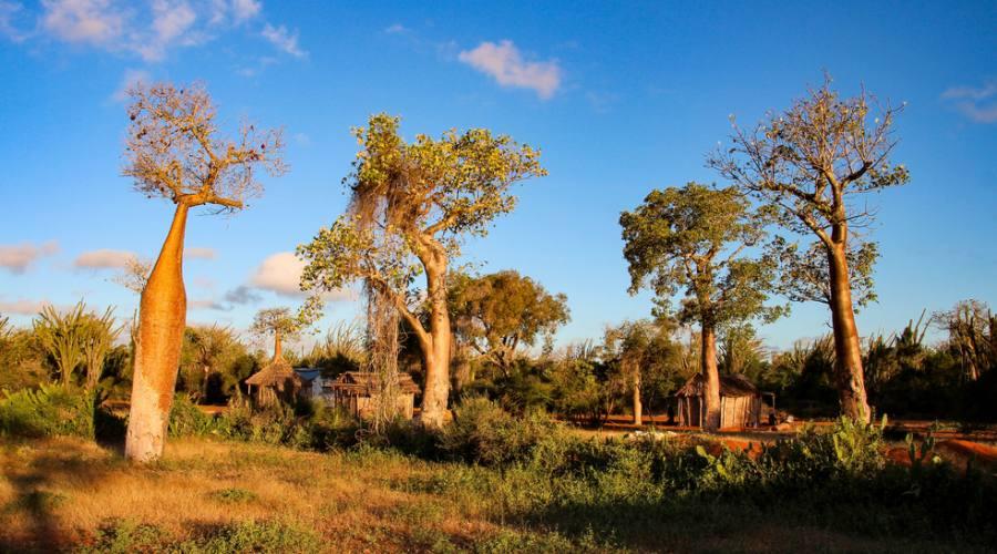 Reniala Park - foresta di baobab