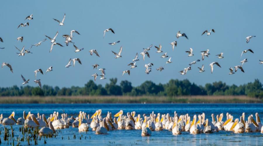 Colonia di pellicani bianchi sul Danubio