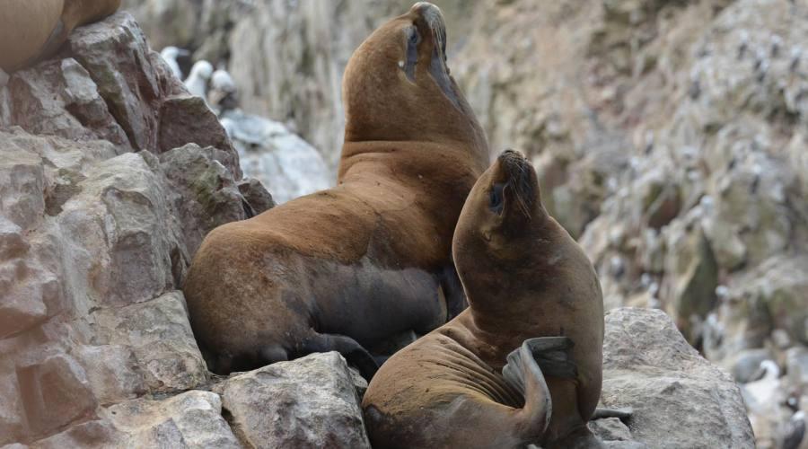 Leoni di mare nelle isole Ballestas