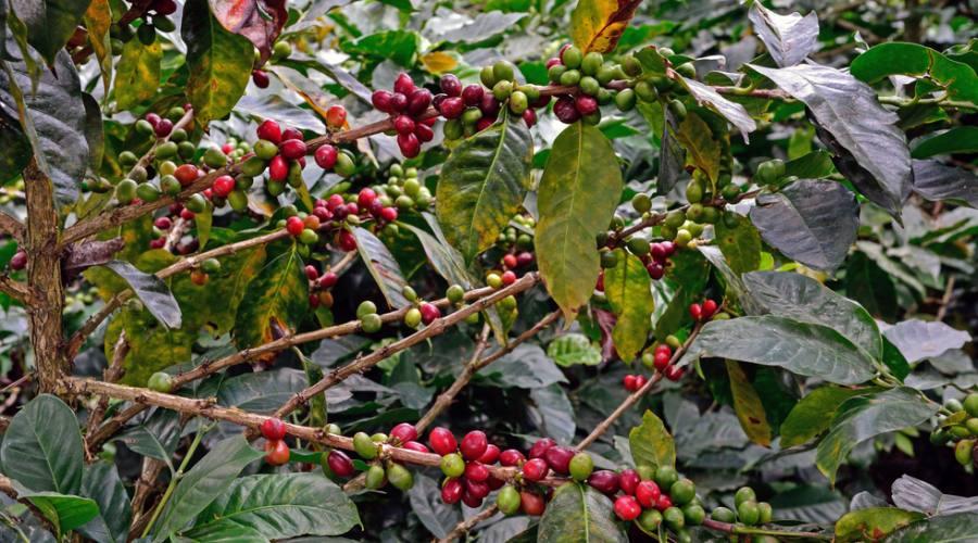Caffè colombiano