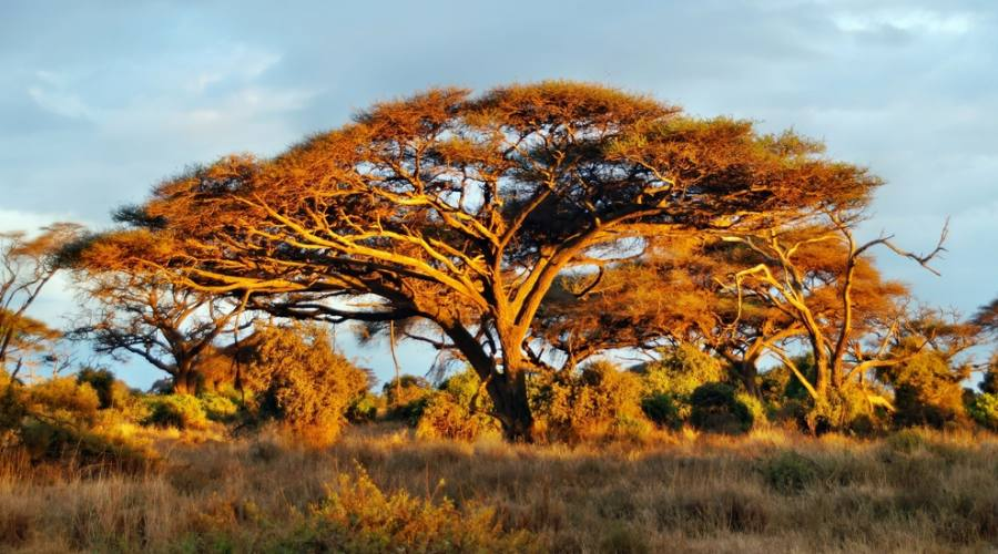 Amboseli National Park - alberi di acacia