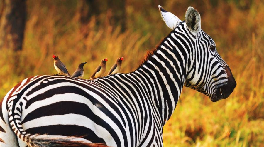 Amboseli National Park - zebre