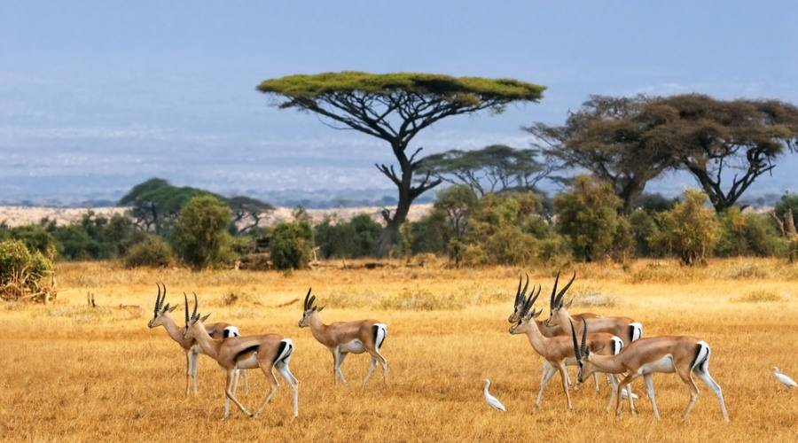 Amboseli National Park - impala