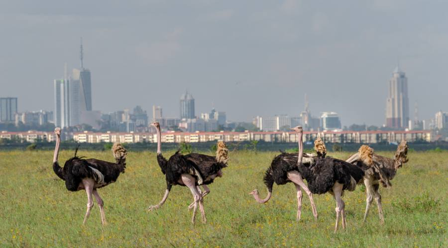 Nairobi National Park - struzzi