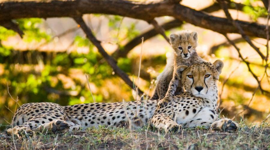 Maasai Mara - ghepardi