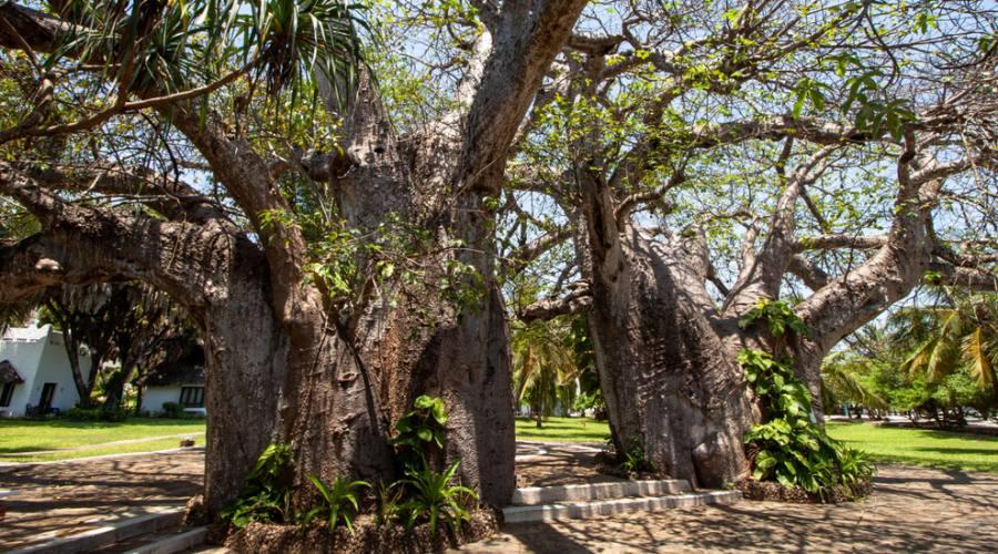 Diani - foresta Baobab