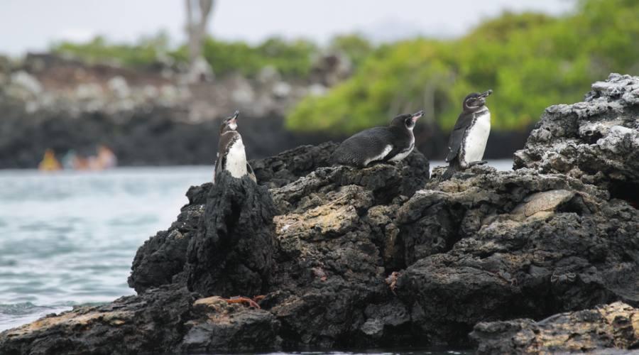 Isola Isabela - Pinguini